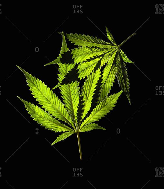 Marijuana leaves on black background