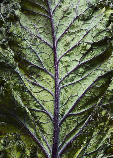 Close-up of ribs and veins of a kale leaf