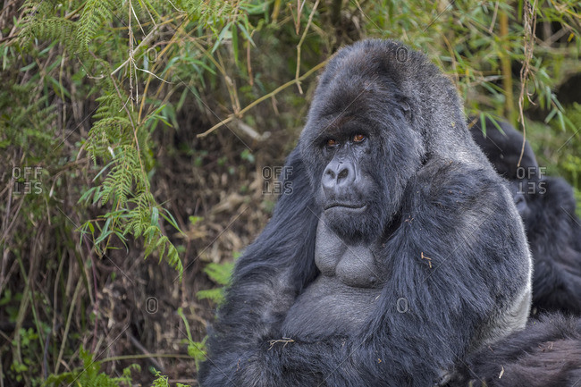 A silverback gorilla in the forest, Rwanda