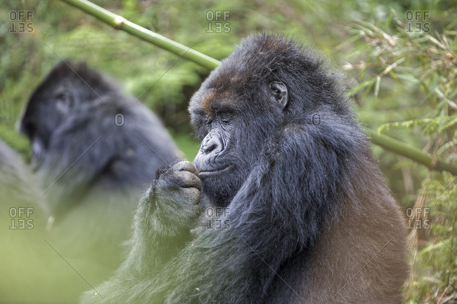 A female silverback gorilla in forest, Rwanda