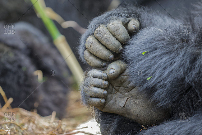 Close-up of hand and foot of a gorilla, Rwanda