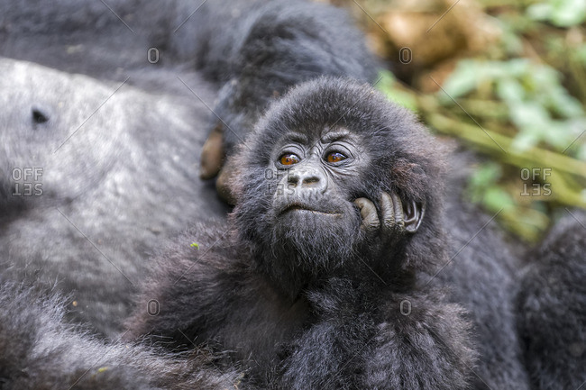 Close-up portrait of a young gorilla