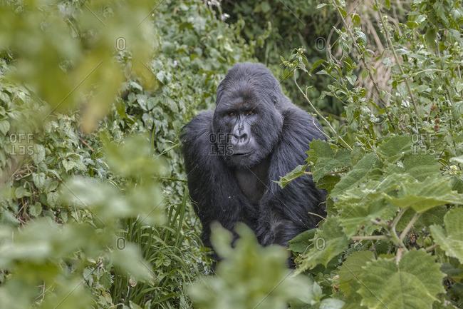 A silverback gorilla in Rwandan forest