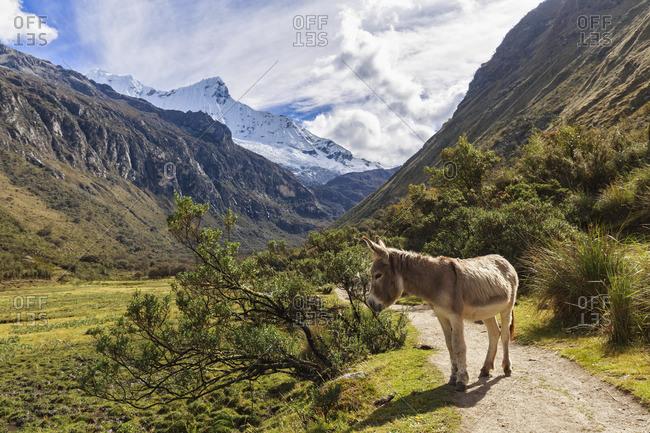 Peru- Andes- Cordillera Blanca- Huascaran National Park- mountain Nevado Chacraraju- donkey on trail