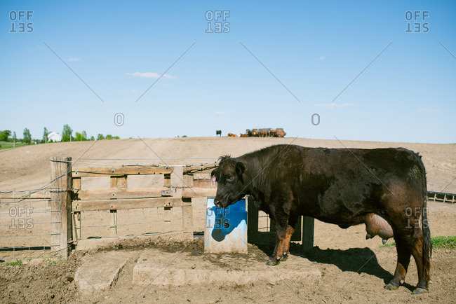 Cow standing at a gate on ranch