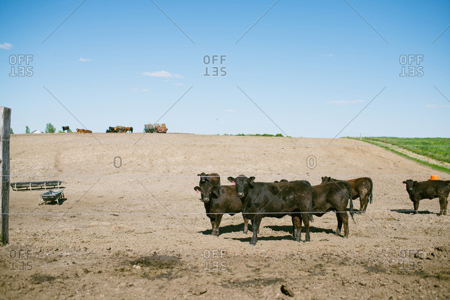 Cattle standing in a dirt lot