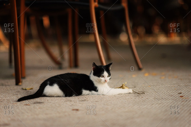 Black and white cat playing with fallen leaf