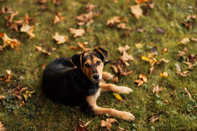 Black and tan puppy lying in the leaves