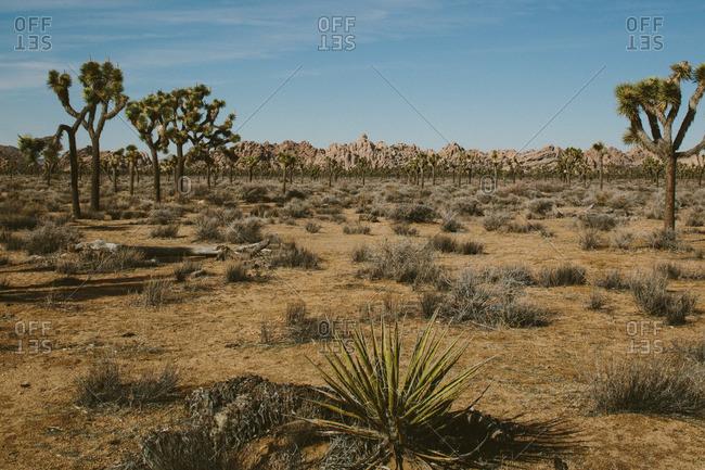 Joshua trees in a vast expanse of desert