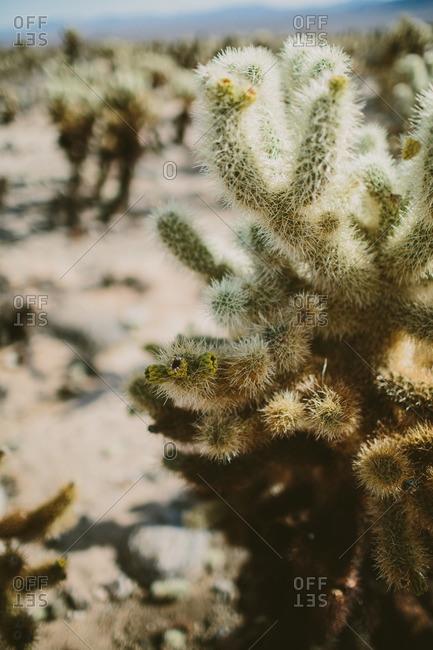 Cholla cactus plants in Joshua Tree National Park
