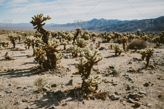 Cactus plants in a vast desert with distant mountains at Joshua Tree National Park