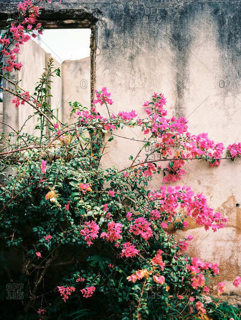 Pink flowering bush growing next to a weathered stone wall