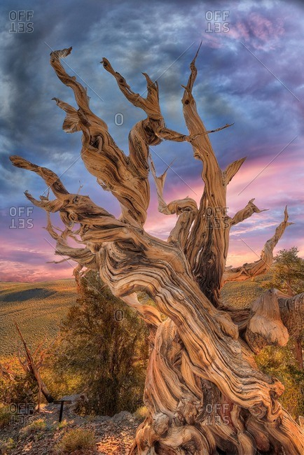 Bristlecone pine tree reaching toward the sky at sunset