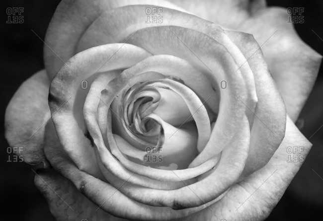 Close-up on the head of a rose in bloom