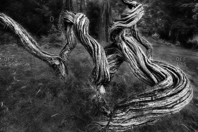 Branches of a gnarled tree emerging from the ground