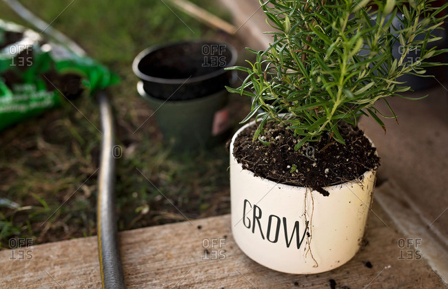 Rosemary growing in a pot