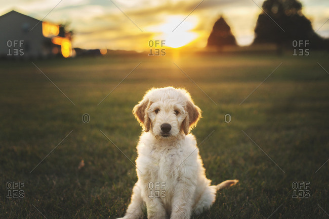Portrait of a fluffy dog at sunset