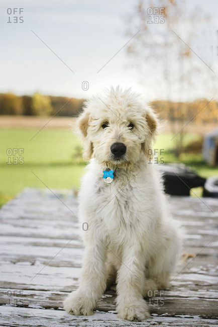 Portrait of a fluffy dog sitting on a wooden deck