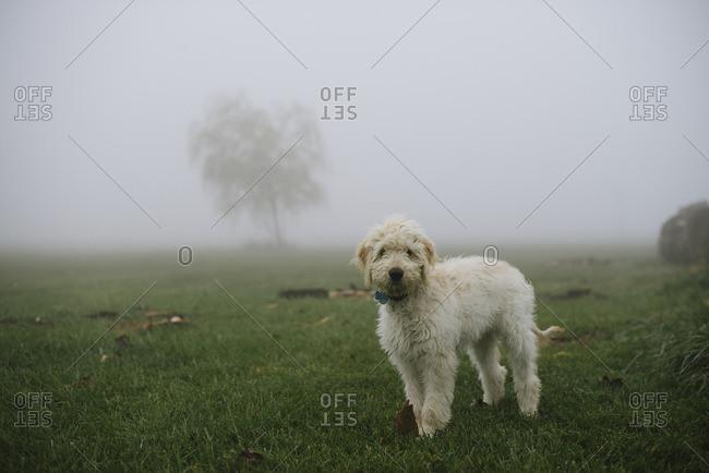 Fluffy dog walking in a foggy field