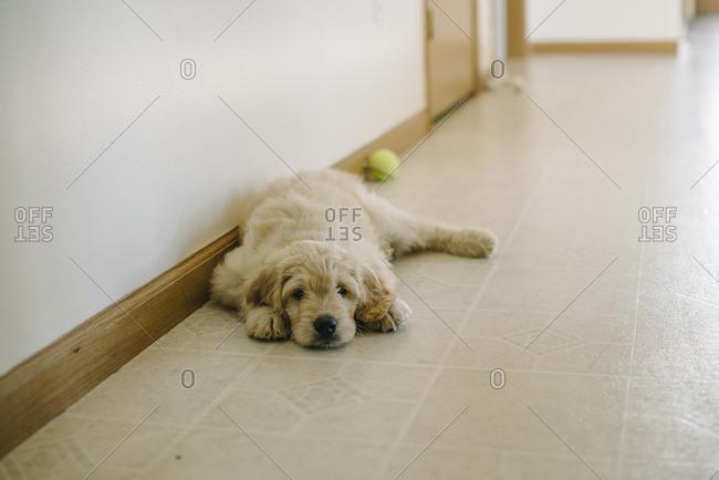 Fluffy dog lying on a floor near a ball