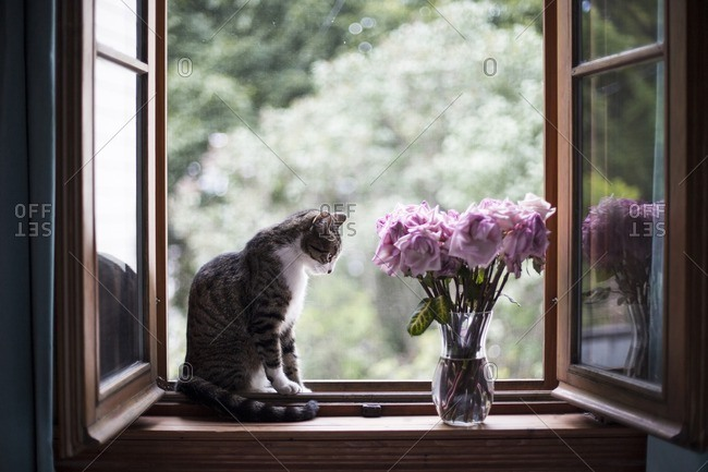 Cat sitting by roses vase on window sill