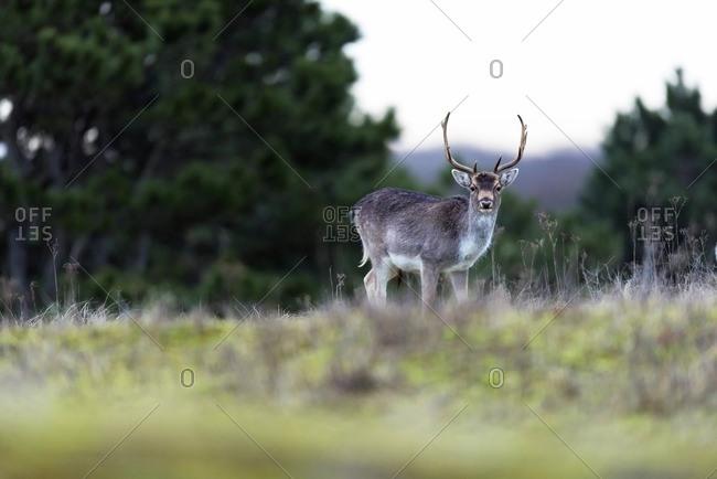 Fallow deer buck in field with tall grass