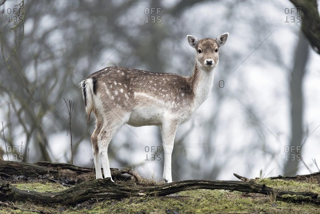 Alert fallow deer standing on mossy forest ground