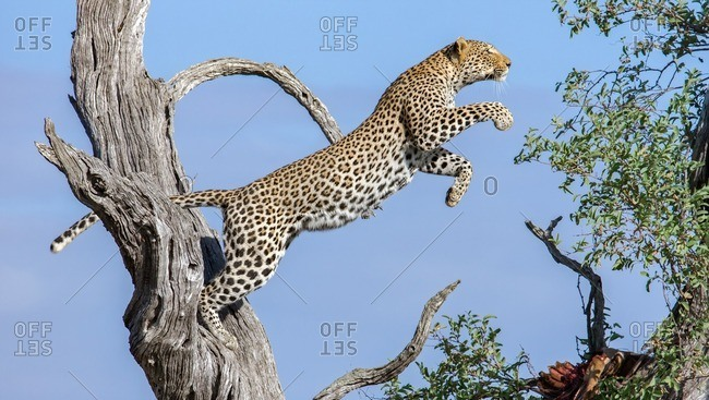 Leaping Leopard