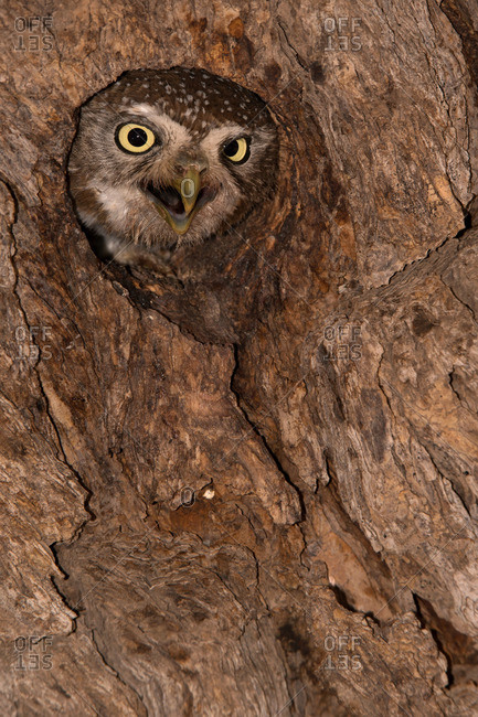 Owl looking out of a hole in a tree