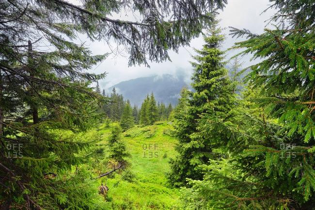 Ukraine, Zakarpattia, Rakhiv district, Carpathians, Maramures, Lush foliage in mountain region