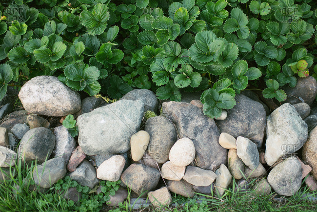 Leafy plants growing behind pile of rocks
