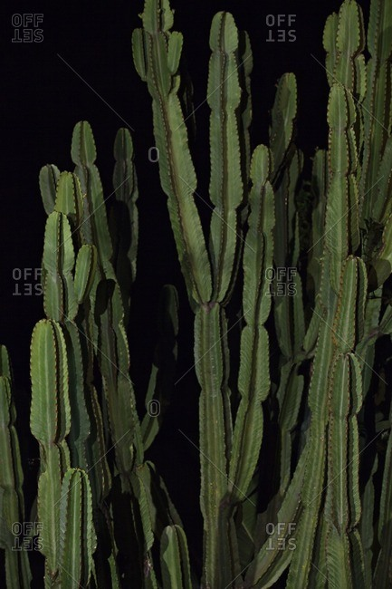 Close up of cactuses against black background in night