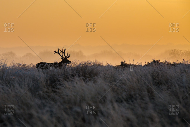 Silhouette of a buck in Richmond Park at sunrise, London