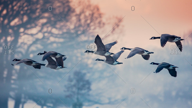 Canada geese flying in park, London