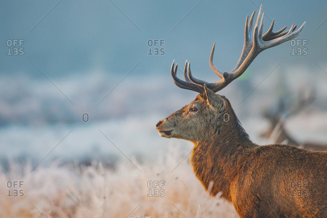 Portrait of a deer in a frost-covered field at sunrise, Richmond Park, London