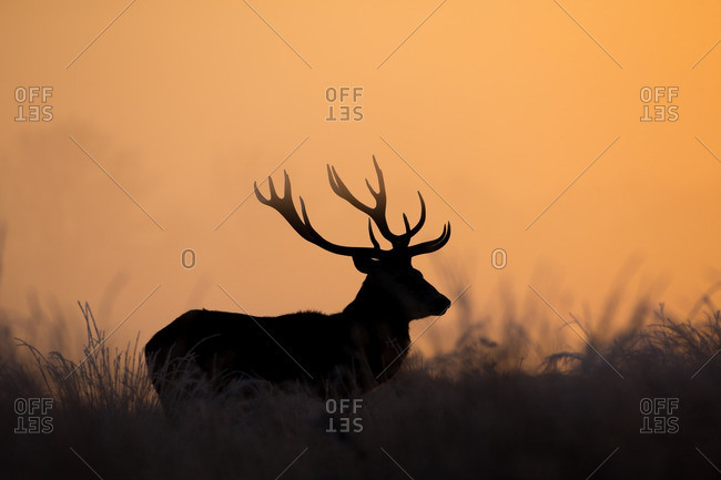 Silhouetted deer at sunrise in Richmond Park, London