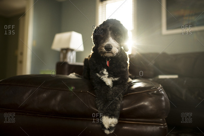 Portrait of dog relaxing on leather ottoman