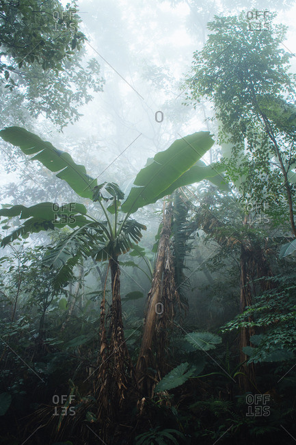 Palm tree in foggy tropical rainforest
