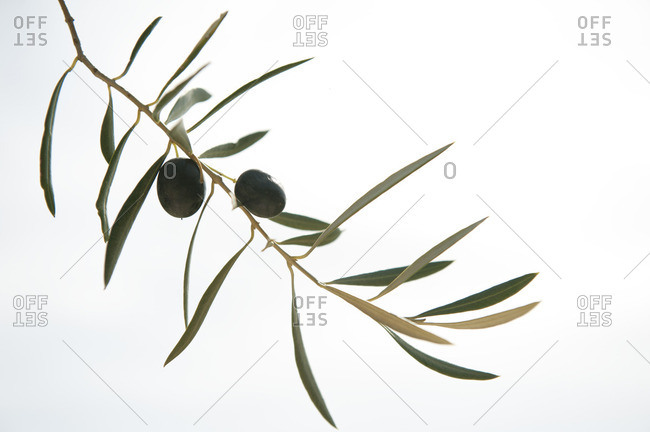 Olives on a single tree branch