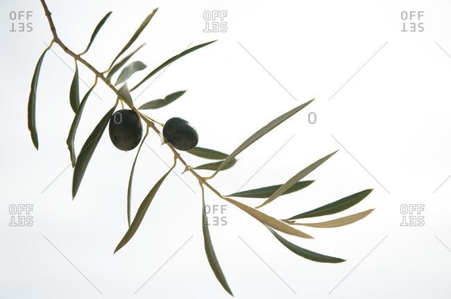 Olives on a single tree branch