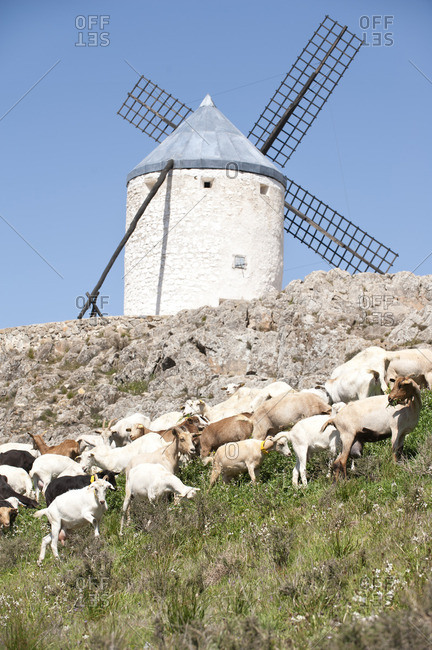 Sheep grazing near a stone wall and old windmill in Consuegra, Spain