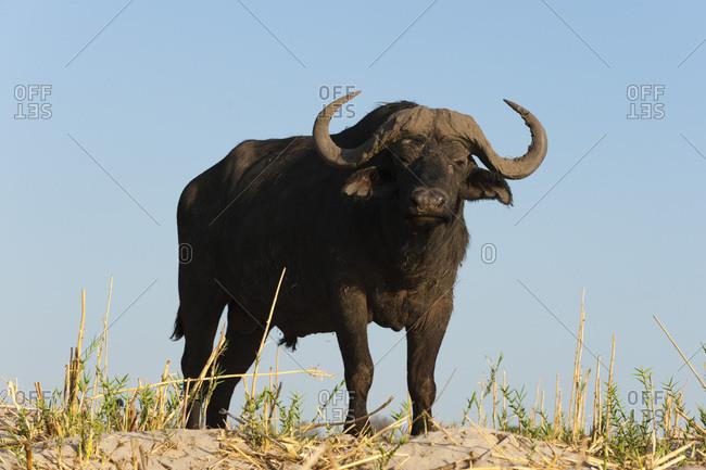 A Cape buffalo (Syncerus caffer), Chobe National Park, Botswana, Africa