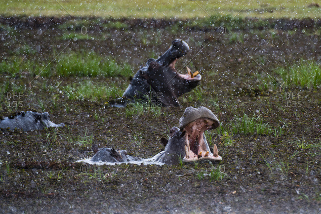 Hippopotamus (Hippopotamus amphibius) threat-yawning in the Khwai River under the rain, Khwai Concession, Okavango Delta, Botswana, Africa