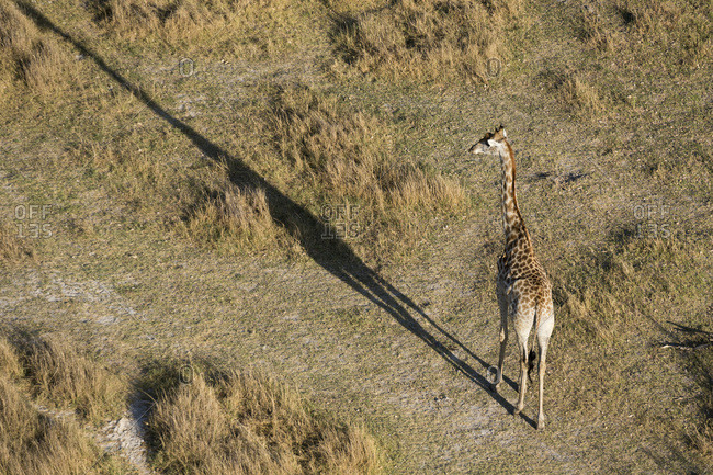 An aerial view of a giraffe (Giraffe camelopardalis) walking in the Okavango Delta, Botswana, Africa