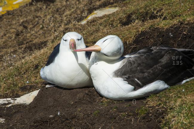Black-browed albatross (Thalassarche melanophris) love, Saunders Island, Falklands, South America