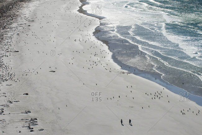 Tourists walking between a huge numbers of Long-tailed gentoo penguins (Pygoscelis papua), Saunders Island, Falklands, South America