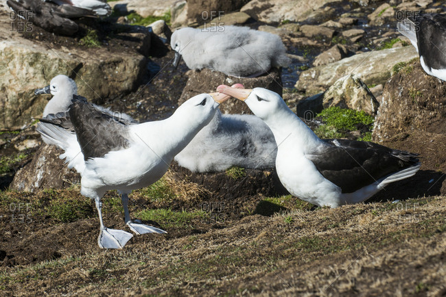 Colony of black-browed albatross mother feeding a chick (Thalassarche melanophris), Saunders Island, Falklands, South America