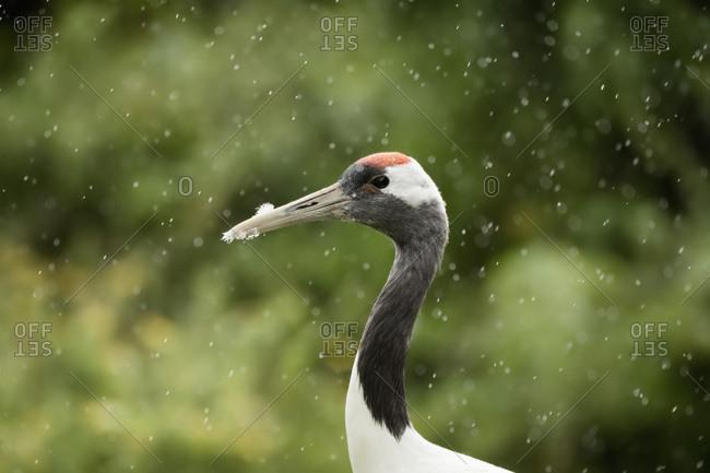 Red crowned crane (Japanese crane) (Grus Japonensis), United Kingdom, Europe