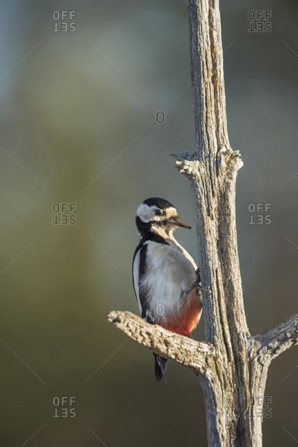 Great spotted woodpecker (Dendrocopos major), Sweden, Scandinavia, Europe