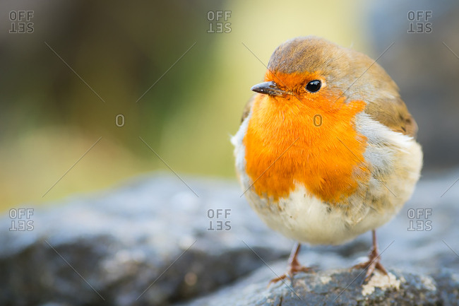 Robin, garden bird, Scotland, United Kingdom, Europe